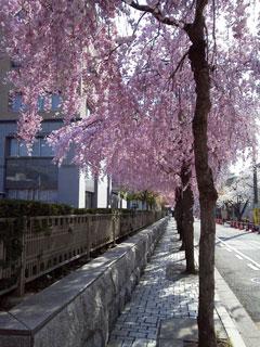 130403sakura01.jpg