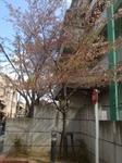 sakura04122013.JPG